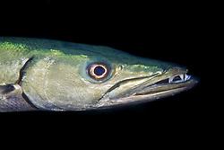 great barracuda, Sphyraena barracuda, City of Washington shipwreck at night, Key Largo, Florida Keys National Marine Sanctuary, Florida, USA, Caribbean Sea, Atlantic Ocean
