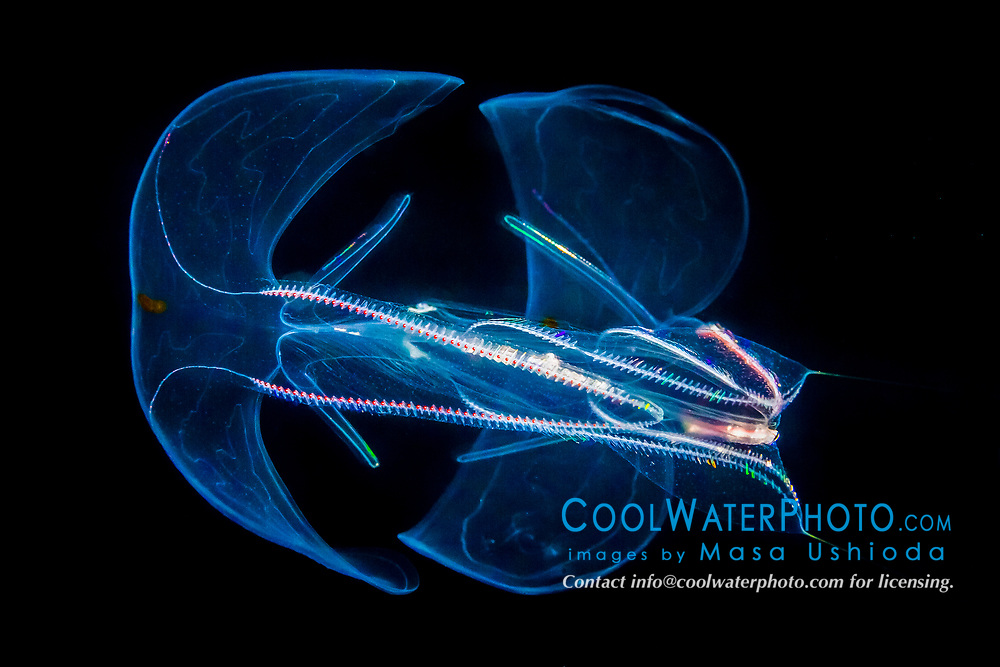 lobate comb jelly or lobate ctenophore, Bolinopsis sp., bioluminescent, offshore at night, Kona Coast, Big Island, Hawaii, USA, Pacific Ocean