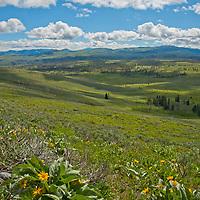 Arrowleaf Balsamroot (Balsamorhiza sagittata) bushes flower in northeastern Yellowstone National Park.