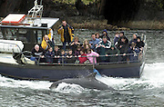 Fungi The Dingle Dolphin in playfull mood in Dingle County Kerry.<br /> Picture by Don MacMonagle
