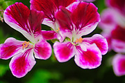 """Close up of the petals of a red """"French"""" Geranium"""