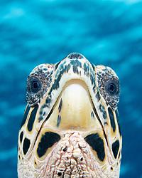 Hawksbill Turtle, Eretmochelys imbricata, Kimbe Bay,  Papua New Guinea, Pacific Ocean