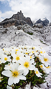 Dryas octopetala (white dryas, or eightpetal mountain avens) flowers prefer limestone formations. The Brenta Dolomites peak of Castelletto Inferiore (2601m) rises above. From the ski resort of Madonna di Campiglio in the Trentino-Alto Adige/Südtirol region of Italy, the Passo Groste lift takes you directly into the Brenta Dolomites to enjoy scenic mountain hiking trails. UNESCO honored the Dolomites as a natural World Heritage Site in 2009. This panorama was stitched from 8 overlapping photos.