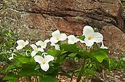 Large-flowered or common white trillium Trillium grandiflorum<br /> Rosseau<br /> Ontario<br /> Canada