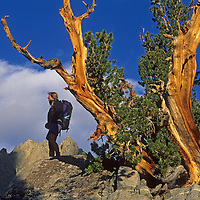 A hiker stands under a wind-twisted whitebark pine in Big Pine Canyon in California's Sierra Nevada. Two Eagles Peak, part of the Palisade Crest, rises in the background..