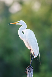 Great egret, Lemon Lake, Great Trinity Forest near Trinity River, Dallas, Texas, USA.