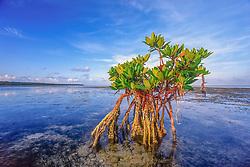red mangrove, Rhizophora mangle, flats near Sands Cut between Sands Key and Elliot Key, Biscayne National Park, Miami, Biscayne Bay, Florida, USA, Caribbean Sea, Atlantic Ocean