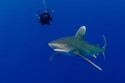 Oceanic whitetip shark, Carcharhinus longimanus, swims past underwater photographer over deep water. Bahamas, Atlantic Ocean