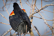 Male Red-winged Blackbird Displaying