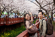 Couple  photographing a memory at the most famous cherry blossom festival in Korea, the Jinhae Gunhang Festival at the Gyeongsang province which draws more than one million tourists from home and abroad to Jinhae every year during the festival period.