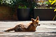Urban fox, Vulpes vulpes, sunbathing on decking in a city garden in Hampstead, London