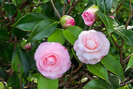Camelia flowers blooming in a backyard garden in the Fraser Valley of British Columbia, Canada