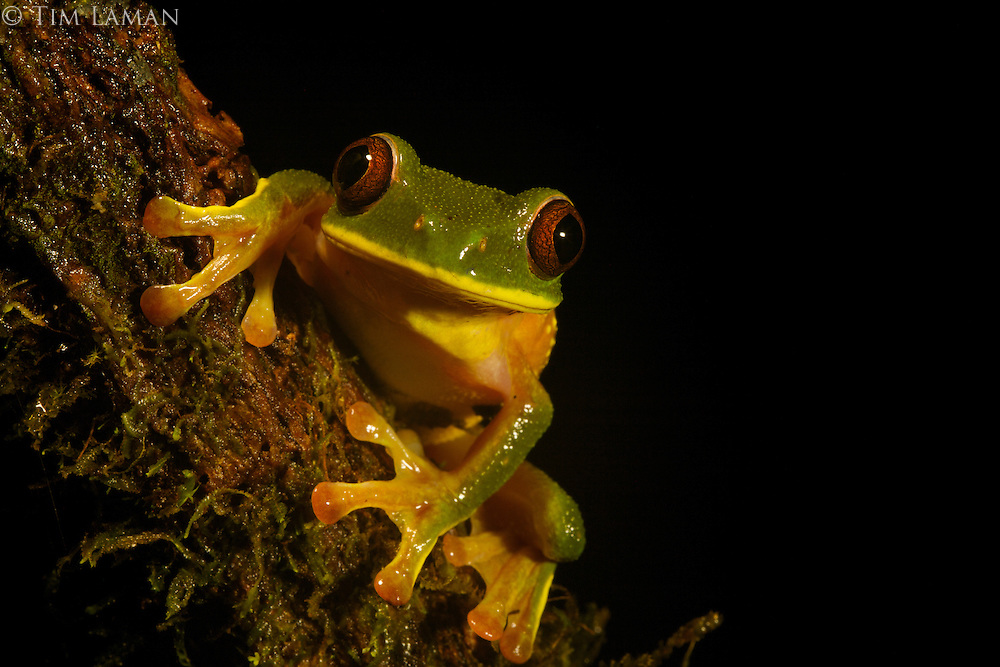 Tree frog (Nyctimystes humeralis)<br />In the Foja Mts near Bog Camp.  1650 m.
