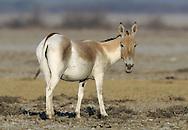 Asian Wild Ass - Equus hemionus khur