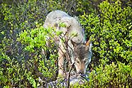 Wildlife - Wolf