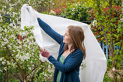 Protecting cherry blossom from frost with horticultural fleece in spring.