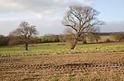 Leafless oak trees stand in field in winter sunshine, Trimley, Suffolk, England