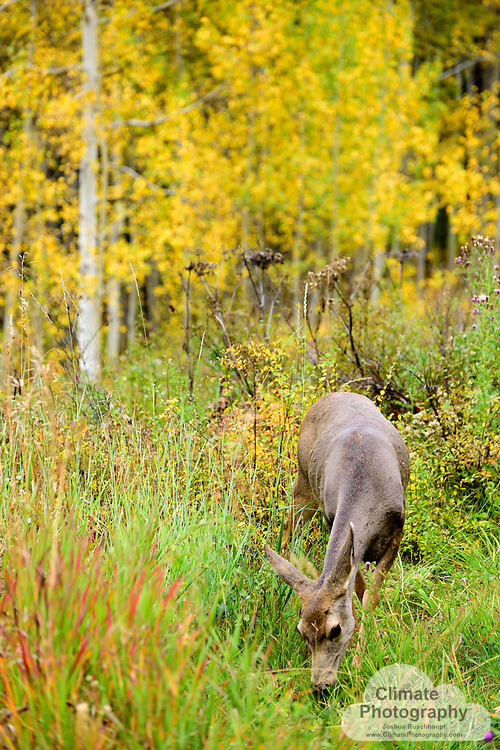 Deer feeding in meadow.