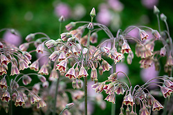 Nectaroscordum siculum (honey garlic)