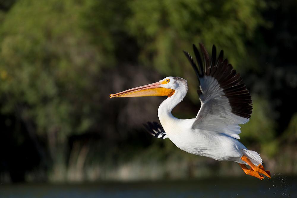 Licensing - Open Edition Prints<br /> White Pelican in flight Snake River near Hagerman Idaho