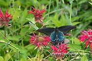 03004-01612 Pipevine Swallowtail (Battus philenor) on Red Bee Balm (Monarda didyma) Marion Co. IL