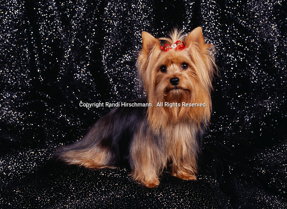 """Yorkshire Terrier, AKC, 3 1/2-year-old """"Zoey"""" photographed at Randi's studio and owned by Dawn Godfrey of Wasilla, Alaska.            (PR)"""