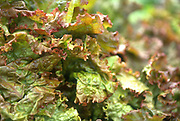 Close up selective focus photograph of some Red Leaf lettuce