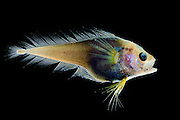 [captive] Deep sea Fish (Moridae sp.) Atlantic Ocean, close to Cape Verde |