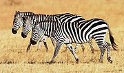 Three in a row Burchells Plains Zebra on migration at Grumeti, Tanzania, East Africa - RESERVED USE