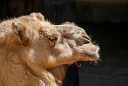 Close up of a head of a camel on black background. Looking right
