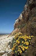WALLFLOWER Erysimum cheiri (Brassicaceae) Height to 60cm. Showy perennial with a woody base to the stem and branched hairs. Associated with cliffs and old walls. FLOWERS are 2-3cm across with 4 orange-yellow petals; borne in terminal clusters (Mar-Jun). FRUITS are flattened and 7cm long. LEAVES are narrow and untoothed. STATUS-Widely naturalised as a garden escape.