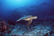 green sea turtle, Chelonia mydas, and bigeye jacks, Caranx sexfasciatus, Sipadan Island, Borneo, Malaysia ( Celebes Sea )