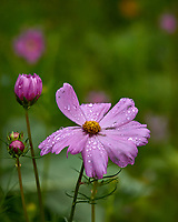 Pink Cosmos flower after the rain. Backyard summer nature in New Jersey. Image taken with a Leica T camera and 55-135 mm lens (ISO 800, 135 mm, f/5.6, 1/400 sec).
