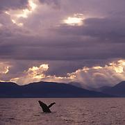 Humpback Whale (Megaptera novaeangliae, sounding in the waters of Southeast Alaska.