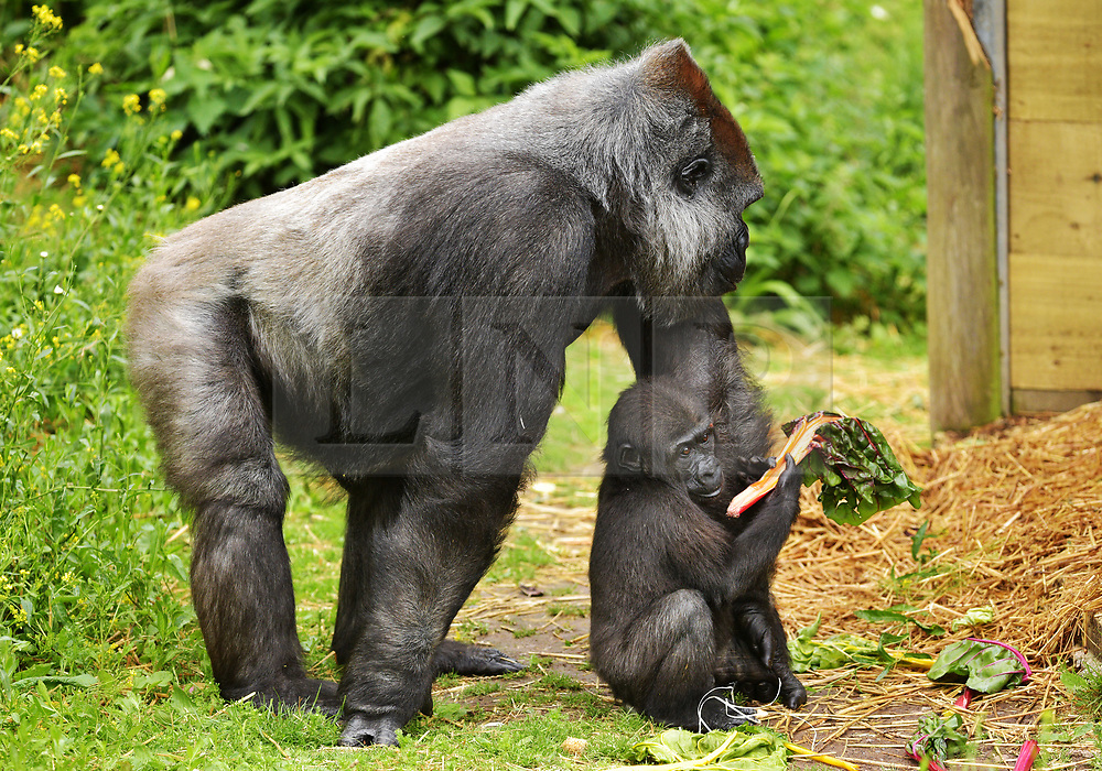 """© Licensed to London News Pictures.  30/05/2017; Bristol, UK. Former baby gorilla AFIA (right), who was born last year and hand reared by keepers is now fully integrated into the gorilla group. Keepers at Bristol Zoo Gardens have revealed that their new baby gorilla is a girl. The little Western lowland gorilla was born in the early hours of Saturday, April 22nd to first-time mum Touni and silverback gorilla dad, Jock. Touni has been at the Zoo since September 2015 after coming from La Vallée des Singes zoo in France, as a breeding partner for Jock. The bright-eyed five week old baby is getting stronger every day and now needs a name. Bristol Zoo's curator of mammals, Lynsey Bugg, said: """"Our little lowland gorilla is doing incredibly well - developing exactly as she should, feeding well and putting on plenty of weight. Now we would like to ask the public to help us choose a name for her.""""  The Zoo is asking members of the public to vote on their favourite from a choice of three names, all inspired by the name 'Daisy'. She added: """"We would like to name her in memory of the baby daughter of one of our colleagues who was born four years ago on the same day as the baby gorilla. Daisy was stillborn and we thought this would be a lovely tribute to her."""" Keepers have chosen a shortlist of names for the baby gorilla – Fleur, Ayana and Undama. Fleur is French for flower, chosen because Touni is French. Ayana means 'pretty flower' in Ethiopian, and Undama means 'beautiful flower' in Swahili. Voting will open later today (Tuesday 30 May) on the Bristol Zoo Facebook page. After Daisy was born, her parents, who are both members of staff at Bristol Zoo, received support from SANDS (the stillborn and neonatal death charity). For more information about SANDS, visit www.sands.org.uk/ or phone 0808 164 3331. The new baby takes the number of gorillas living at Bristol Zoo to eight. The refurbished and extended Gorilla House opened in 2013 and is able to accom"""
