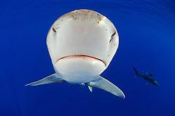 Oceanic Whitetip Sharks, Carcharhinus longimanus, note ampullae of Lorenzini, off Kona Coast, Big Island, Hawaii, Pacific Ocean.