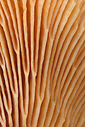 Close-up abstract of the gill structure of a false chanterelle fungus (Hygrophoropsis aurantiaca) showing the distinctive orangy fan-shaped gills. Norfolk wood in late autumn