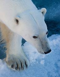 Polar bear (Ursus maritimus) close-up, Nordaustlandet, Svalbard