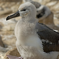 A young Black Browed Albatross sits on its nest at a rookery on New Island, in Britain's Falkland Islands.