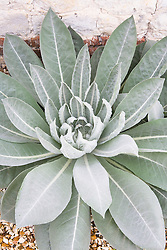Silver foliage of Verbascum olympicum growing in the gravel