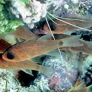 Striped Cardinalfish inhabit wide range of shallow habitats from reefs to sea grass beds in the Caribbean; picture taken Little Cayman.