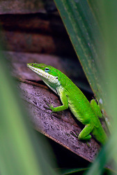 02 June 2014. Jean Lafitte National Historic Park, Louisiana.<br /> A green Anole lizard in the swamp at the Barataria Preserve wetlands south or New Orleans.<br /> Charlie Varley/varleypix.com