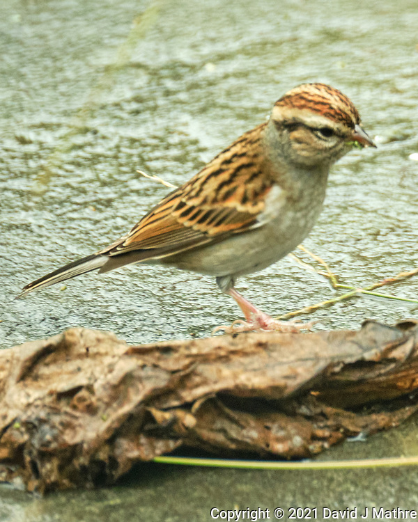 Chipping Sparrow. Image taken with a Fuji X-T4 camera and 100-400 mm OIS<br />  lens.