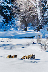 Winter march for the den, Grizzy 399 and her brood of four cubs in two will likely make it there by nightfall.<br /> <br /> Custom prints available by request.Contact for custom print options or inquiries about stock usage  - dh@theholepicture.com