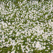 A field of glacier lillies in the Paradise Valley of Mount Rainier National Park.
