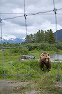 An Alaskan brown bear at the Alaska Wildlife Conservation Center, Portage, Alaska, USA<br /> <br /> Photographer: Christina Sjögren<br /> <br /> Copyright 2019, All Rights Reserved