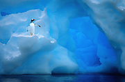 Image of a gentoo penguin on an iceberg in Antarctica (photo-illustration) by Randy Wells