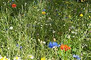 Wild Summer Flowers
