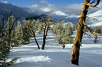 Great bason bristlecone pines in the Patriarch Grove area of the White Mountains, CA.  Mar 04.