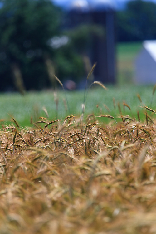 Wheat in a field on a rural farm is ready for harvest.